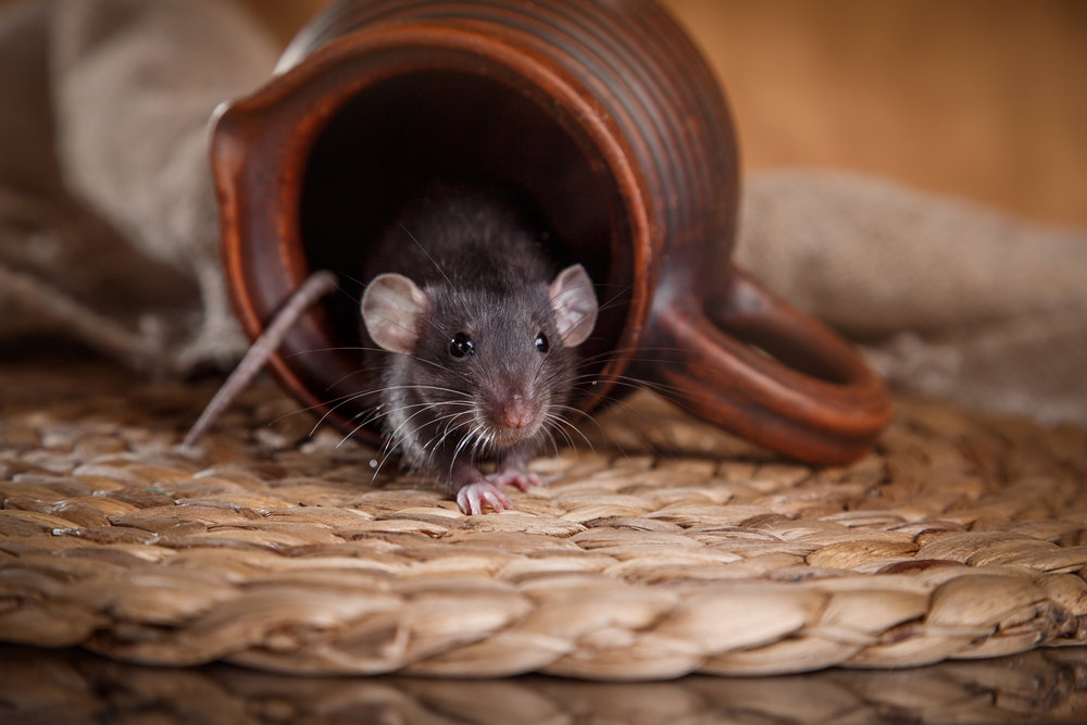 what is rodent control west palm beach?